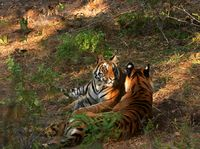 Tigers-India
