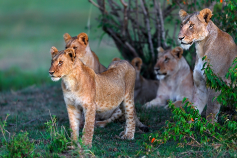 South-Africa-lion-cubs