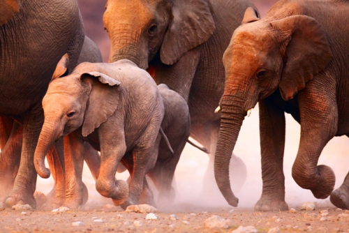 Ellen Morse South African elephants