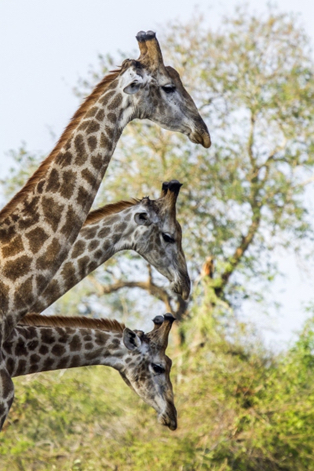 South-Africa-giraffes